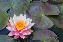 USA, California, Napa Valley, Water lilies in pool at Darioush Winery. von Danita Delimont