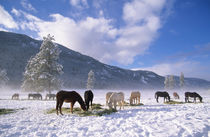 Horses feeding on hay in the winter snow, Methow Valley, Washington State, USA von Danita Delimont