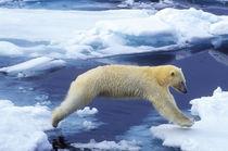 Arctic,Svalbard,Polar Bear von Danita Delimont