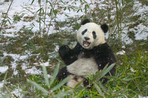 Panda eating bamboo on snow, Wolong, Sichuan, China by Danita Delimont
