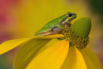 Pacific tree frog on flowers in our garden, Sammamish Washington von Danita Delimont