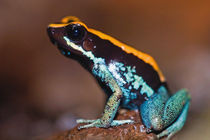Phyllobates vittatus, a poison arrow frog endemic to Costa Rica by Danita Delimont