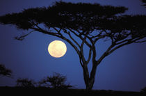 Africa, Tanzania, Tarangire. Acacia tree in moonlight von Danita Delimont
