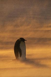 Emperor penguin in snowstorm, Aptenodytes forsteri, Weddell Sea, Antarctica by Danita Delimont