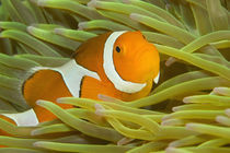 False Clown Anemonefish (Amphiprion ocellaris). New Guinea von Danita Delimont