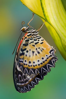 Sammamish Washington Tropical Butterflies photograph of Leopard Butterfly von Danita Delimont