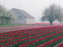 Red and pink tulips greet the day on a misty April morning in the Skagit Valley by Danita Delimont