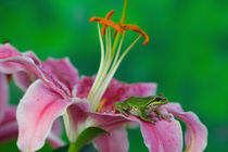 Oriental Lily and Pacific tree frog resting on its petals, Sammamish Washington von Danita Delimont