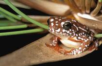 Africa, Botswana, Okavango Delta. Painted Reed Frog (Hyperolius marmoratus) by Danita Delimont