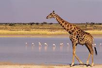Namibia: Etosha National Park von Danita Delimont