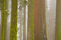 Giant Sequoia (Sequoiadendron) trees by Danita Delimont