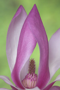 USA, Washington. Close-up of magnolia blossom. Credit as by Danita Delimont
