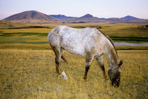 Appaloosa Indian horse graze on grasslands in Montana by Danita Delimont