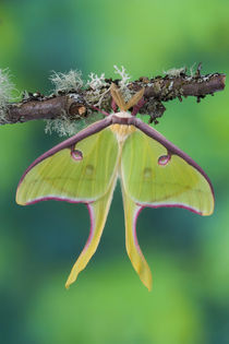 Male  Luna Silk Moth of North American photographed Sammamish, Washington von Danita Delimont