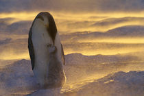 Emperor penguin with chick in blizzard, Weddell Sea von Danita Delimont