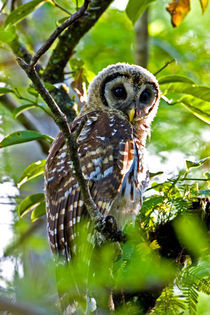 A fledgling barred owl is perched in a bald cypress tree by Danita Delimont