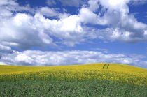 N.A., USA, Washington, Whitman County.  Canola fields in the Palouse. von Danita Delimont