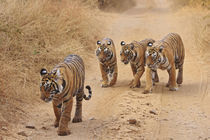 Royal Bengal Tigers on the track, Ranthambhor National Park, India. von Danita Delimont