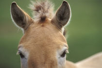 Takhi face, Equus caballus przewalskii, Hustain Nuruu National Park, Mongolia von Danita Delimont