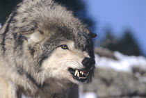 Snarling Gray or Timber Wolf(Canis Lupus), Captive. by Danita Delimont