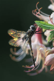 USA,Georgia,Close-up of dragonfly Backlit on Azalea. Credit as von Danita Delimont