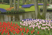 Pattern of tulips and grape hyacinth flowers, Netherlands, Holland by Danita Delimont