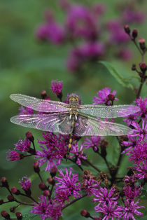 Dragonfly on Joe-Pye weed. Credit as by Danita Delimont