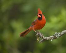 Northern Cardinal, Cardinalis cardinalis, Coastal Texas by Danita Delimont