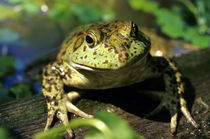 Bull frog. von Danita Delimont