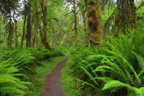 WA, Olympic National Park, Quinault Rain Forest by Danita Delimont