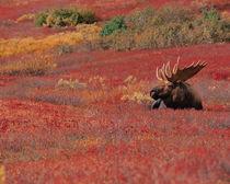 N.A., USA, Alaska, Denali Nat'l Park Bull Moose - Alces alces by Danita Delimont
