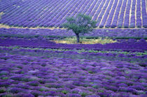Europe, France, Provence. Lavander fields by Danita Delimont