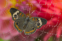 Sammamish Washington Photograph of Butterfly on Flowers von Danita Delimont