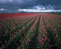 Bright pink and red tulips glow in the Skagit Valley of Washington by Danita Delimont