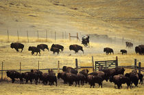National Bison Range Roundup in Montana by Danita Delimont