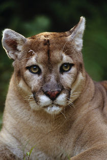 Florida panther, Puma concolor coryi, Florida by Danita Delimont
