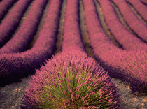 Lavender field in High Provence, France von Danita Delimont