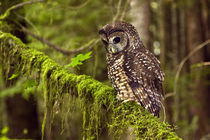 Oreogn, Coast Range, a Northern Spotted Owl (Strix occidentalis) by Danita Delimont