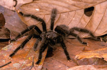 South America, Peru, Amazon Rainforest. Black Tarantulas (Theraposidae) by Danita Delimont
