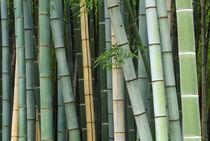 Asia, Japan, Kyoto, Arashiyama, Sagano, Bamboo Forest by Danita Delimont