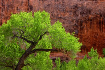 USA, Utah, Arches National Park. Cottonwood tree against red rock. Credit as von Danita Delimont