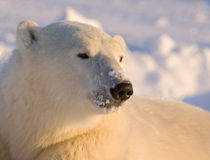 Canada, Manitoba, Hudson Bay, Churchill. Close-up of polar bear. Credit as von Danita Delimont