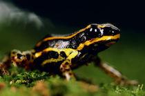 Poison dart frog, Dendrobates sp., Vilcabamba, Peru von Danita Delimont