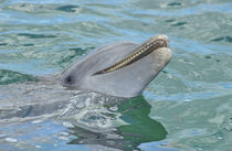 Atlantic Bottlenose Dolphin, Roatan Institute of Marine Science by Danita Delimont