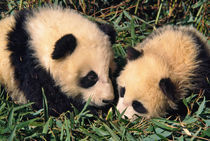 Two panda cubs in the bamboo bush, Wolong, Sichuan, China by Danita Delimont