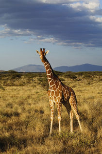 Reticulated Giraffe, Samburu Game Reserve by Danita Delimont