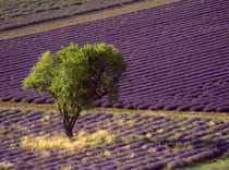 Lavender field in High Provence, France by Danita Delimont