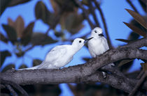 White Tern,adult preening partner by Danita Delimont