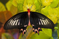 Sammamish Washington Tropical Butterflies photograph of Atrophaneura semperi by Danita Delimont