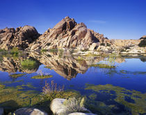 USA, California, Joshua Tree NP, Barker Dam by Danita Delimont
